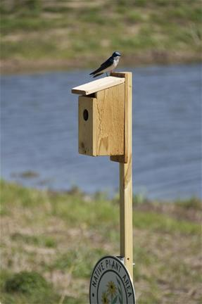 Tree swallow in Montgomery_thumb.jpg